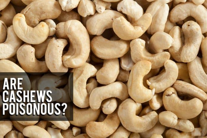 are cashews poisonous, cashew poison, urushi